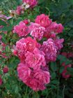 Rosa The Fairy Red (Poly) Shrub Rose 2L Pot